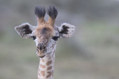 Portrait of free wild young giraffe Royalty Free Stock Photos