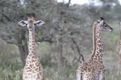 Portrait of free wild young giraffe Royalty Free Stock Images