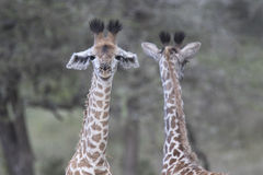 Portrait of free wild young giraffe Stock Images