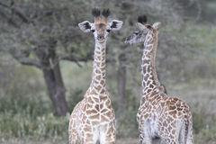 Portrait of free wild young giraffe Stock Photography