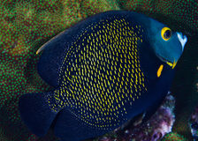 Portrait of a French Angelfish Royalty Free Stock Photography