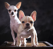 Portrait of french bulldog and chihuahua puppies with studio lig Stock Photos