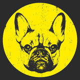 Portrait of French Bulldog. Royalty Free Stock Image
