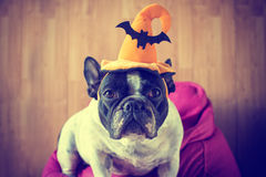 Portrait of French bulldog with hat halloween Stock Images