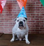 Portrait of French bulldog on his birthday. Royalty Free Stock Image