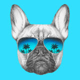 Portrait of French Bulldog with mirror sunglasses. Stock Photography