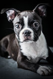 French Bulldog. Portrait of French Bulldog Puppy Stock Images