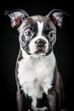 French Bulldog. Portrait of French Bulldog Puppy Royalty Free Stock Images