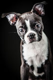 French Bulldog. Portrait of French Bulldog Puppy Royalty Free Stock Photography