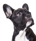 Portrait of a french bulldog puppy Royalty Free Stock Photo