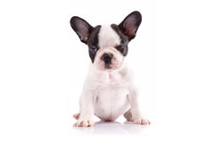 Portrait of french bulldog puppy Stock Image