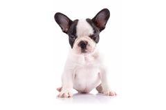 Portrait of french bulldog puppy Stock Image