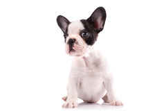 Portrait of french bulldog puppy Stock Photos