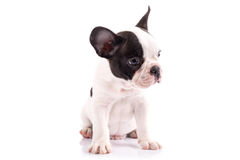 Portrait of french bulldog puppy Royalty Free Stock Images