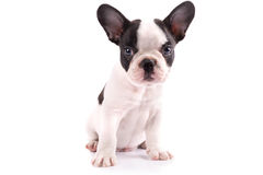 Portrait of french bulldog puppy. French bulldog puppy portrait over white background Stock Photography