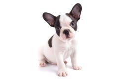 Portrait of french bulldog puppy Stock Photos