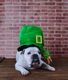 Portrait of French bulldog with a Saint Patrick cap Royalty Free Stock Image