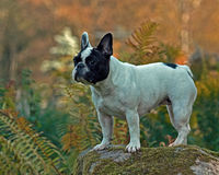 Portrait of French bulldog Stock Photos