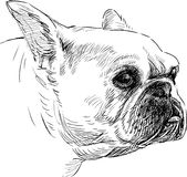 Portrait of a french bulldog Stock Images