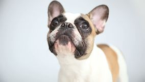 Portrait of a French bulldog on a white background. cheerful little dog with a funny face