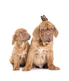 Portrait of French Mastiff pups with butterfly Royalty Free Stock Photography