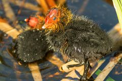 Young chick of American Coot. The portrait of freshly hatched chick of American coot on the lake. Fulica Americana, also known as a mud hen, is a bird of the Stock Photo