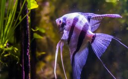 Portrait of a freshwater angelfish, popular pet in aquaculture, exotic fish from the amazon basin royalty free stock photography