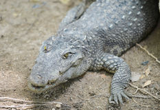 Portrait of a freshwater crocodile Royalty Free Stock Images
