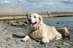 Portrait of friendly golden retriever dog at the beach Royalty Free Stock Photography