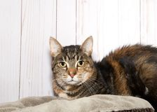 Portrait of a friendly tabby cat. Portrait of a black and brown tabby cat laying on a bed, light wood background looking directly at viewer. Copy space Stock Photos