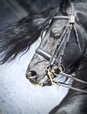 Portrait of friesian horse Royalty Free Stock Images