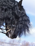 Portrait of friesian horse Stock Photography