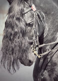 Portrait of friesian horse closeup Stock Photography