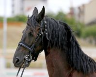 Portrait of a friesian horse on natural background outdoors. Headshot portrait of a friesian black horse with halter royalty free stock images