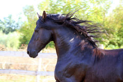 Portrait of a Friesian stallion Royalty Free Stock Photos