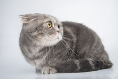 Portrait of a frightened cat. Breed Scottish Fold. Royalty Free Stock Photo