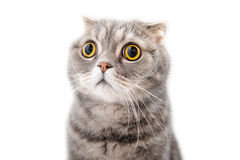 Portrait of a frightened cat closeup. Breed Scottish Fold. Stock Image