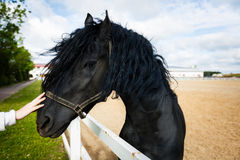 Portrait of a frisian horse stock photos