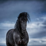 Portrait of a frisian horse Royalty Free Stock Image