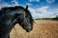 Portrait of a frisian horse royalty free stock photography