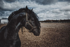Portrait of a frisian horse stock photography