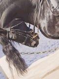 Portrait of frisian horse closeup Stock Photography
