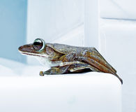 Portrait of the frog Royalty Free Stock Photos