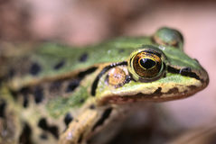 Portrait of a frog Royalty Free Stock Photos