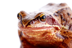 Portrait of a frog. Royalty Free Stock Photos