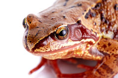 Portrait of a frog. Stock Images