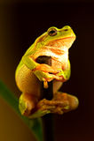 Portrait of Frog Stock Photography
