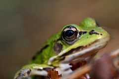 Portrait of a frog Royalty Free Stock Image