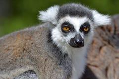 Portrait ring-tailed lemur stock image