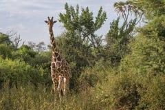 Portrait frontal de plein corps de girafe réticulée, camelopardalis de Giraffa reticulate, dans le paysage du nord du Kenya photos stock